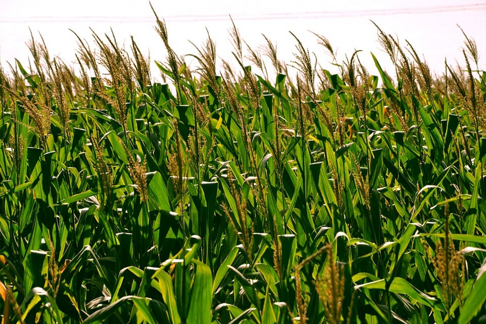 This Project Could Generate Crops That Produce Their Own Nitrogen Naturally