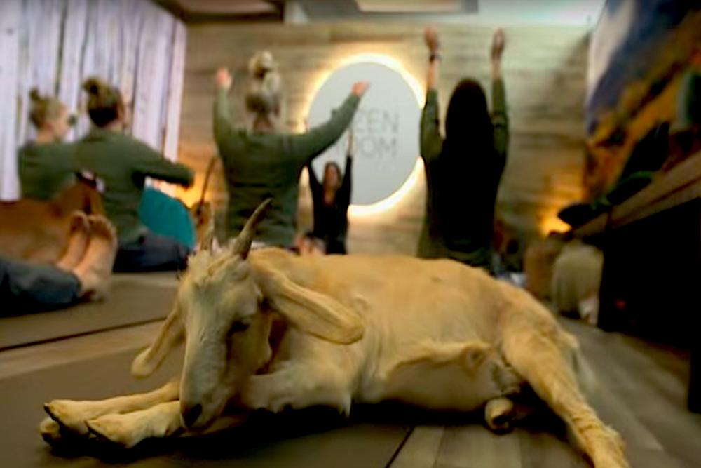 Denver International Airport's Zen Room Offers Yoga With Goats